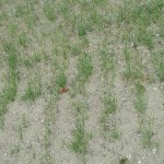 Young Warn Season Grasses Growing in Dozer Track